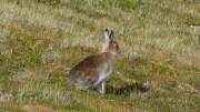 Cairn Gorm Hare